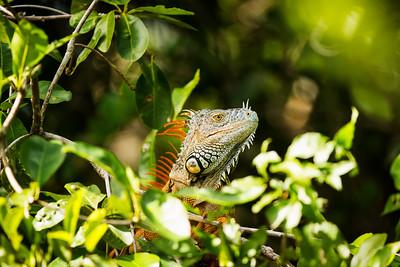 Belizean Iguana