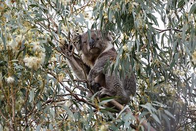 Endangered Koala