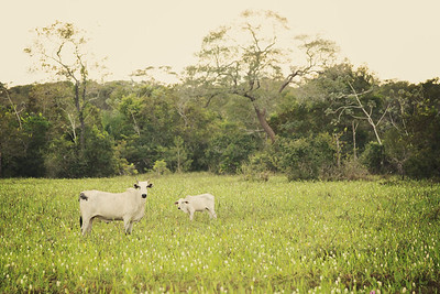 Cow Family