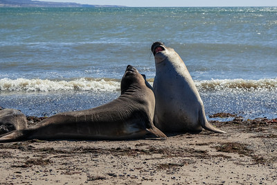 Elephant Seal Duel