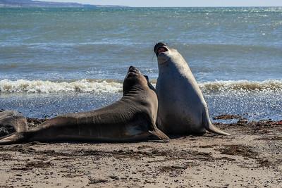 Elephant Seal Duel