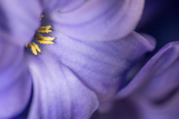 2015: 365/081 - hyacinth