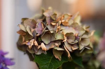 hydrangea, end of the season...