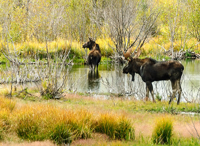 Moose, at Grand Teton National Park, Wyoming