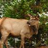 Norris Basin Elk, Yellowstone National Park