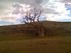 fallen eagle tree