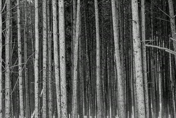 Stand of Pines