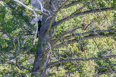 Very adorable bear cub on the tree. Mommy was below the tree and was aware that we were watching the cubs. Had to maintain safe distance as sow (mother bear) can be very aggressive and protective about her cubs.
