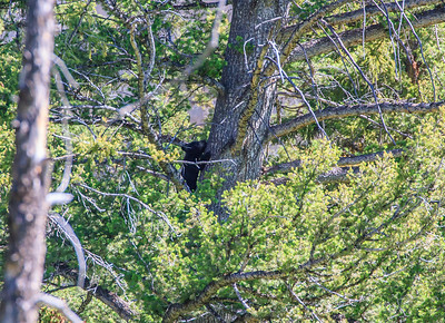 Playful and adorable bear cub climbing the tree. Mommy was below the tree and was aware that we were watching the cubs. Had to maintain safe distance as sow (mother bear) can be very aggressive and protective about her cubs