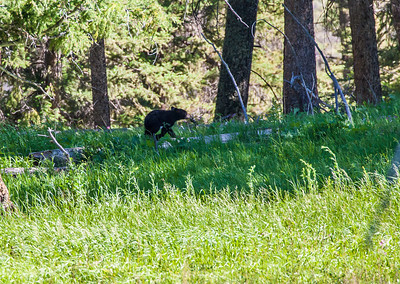 Very adorable and playful bear cub. Mommy was close and aware that we were watching the cubs. Had to maintain safe distance as sow (mother bear) can be very aggressive and protective about her cubs