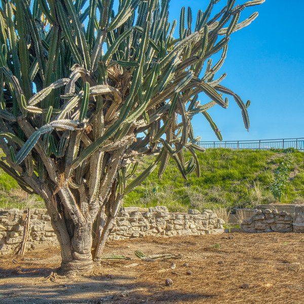 Cactus planted decades ago when this wall overlooked the Yorba farm