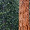 Pine Tree in Snowstorm