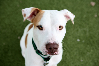 Northeast Aniimal Shelter:  Aeon a Lab/Boxer Mix.. Salem Magazine  NEAS  Northeast Animal Shelter in Salem. Salem Magazine Photo by Amy Sweeney Oct. 14, 2019