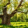 Giant Simsbury Tree