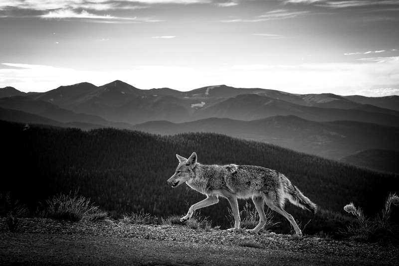 Coyote on the Prowl