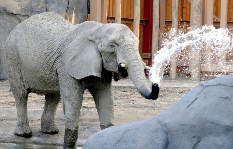 African Elephant Crossing