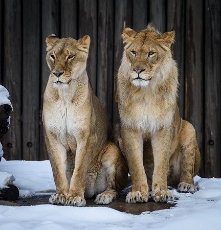 Lions At the Cleveland Zoo