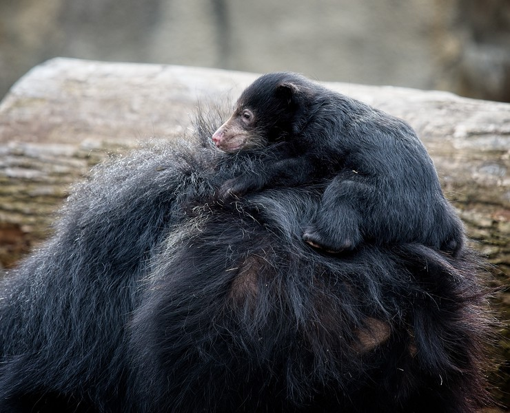 Baby Sloth Bear makes it's debut