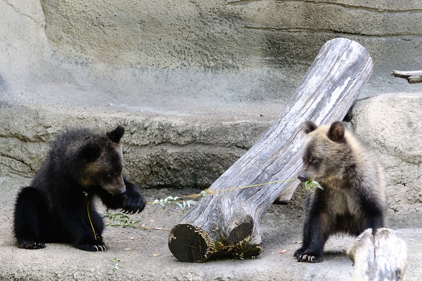 Cooper and Cody - Bear Cubs Play Tug of War- Cleveland Metroparks Zoo