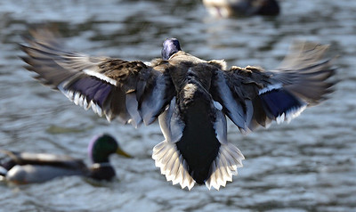 Coming in for a landing on Waterfowl Lake