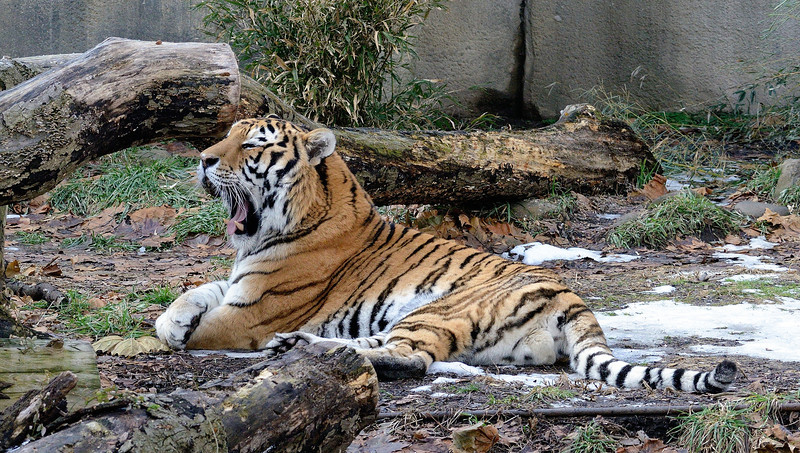 Tired Tiger