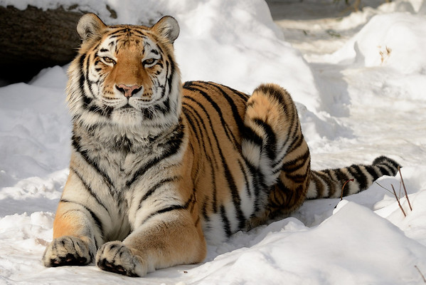 Siberian Tiger - Cleveland Metroparks Zoo