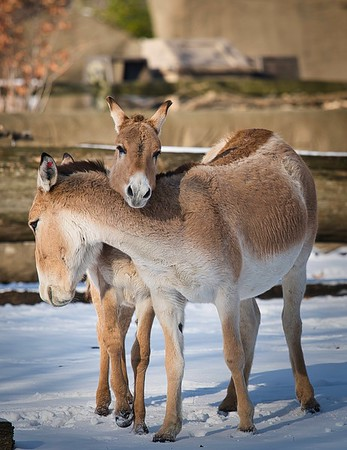 Persian Onagers