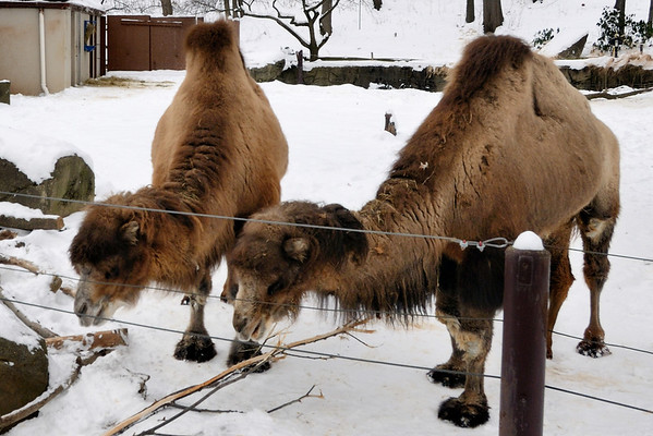 Bactrian Camels - Cleveland Metroparks Zoo