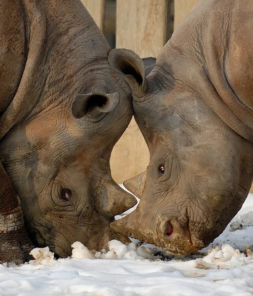 Dueling Rhinos