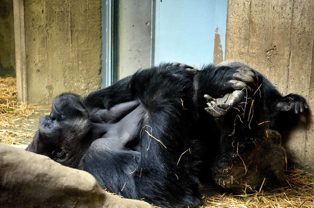Gorilla - Cleveland Metroparks Zoo