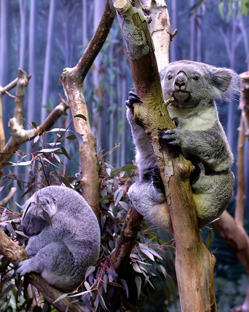 Koala - Cleveland Metroparks Zoo