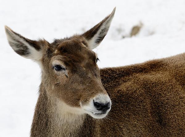 Deer - Cleveland Metroparks Zoo