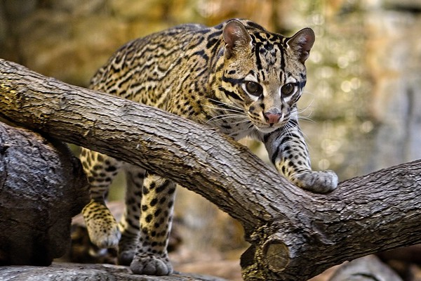 Ocelot at the Rainforest