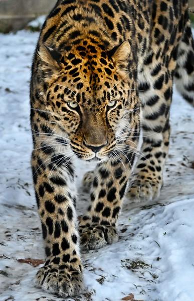 Edgar, Amur Leopard