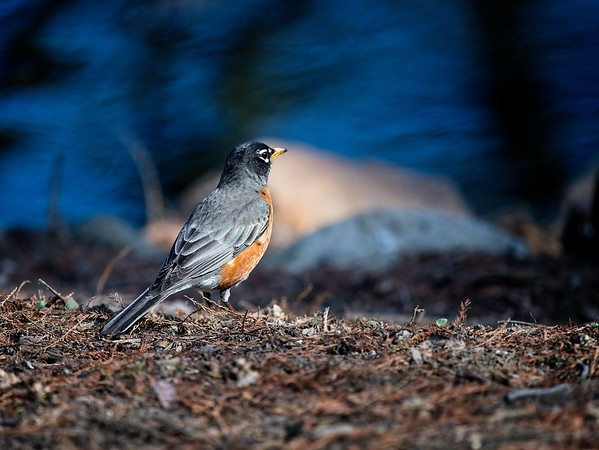Robin at Waterfowl Lake