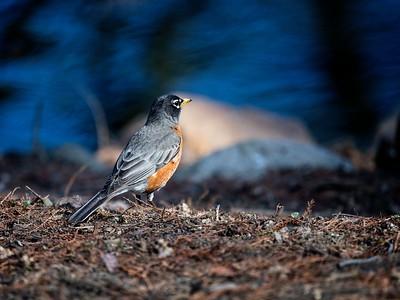 Robin at Waterfowl Lake