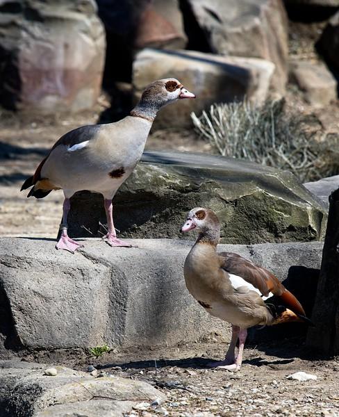 Eqyptian Geese