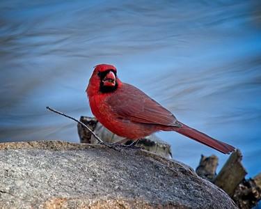 Cardinal at Waterfowl Lake