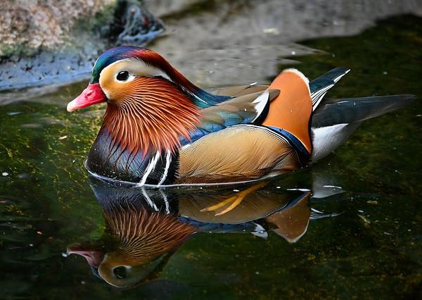 Manderan Duck