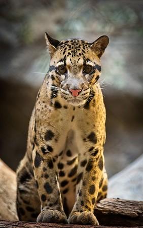 Ryker, Clouded Leopard