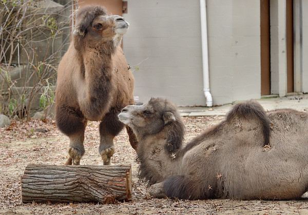 Relaxing Camels