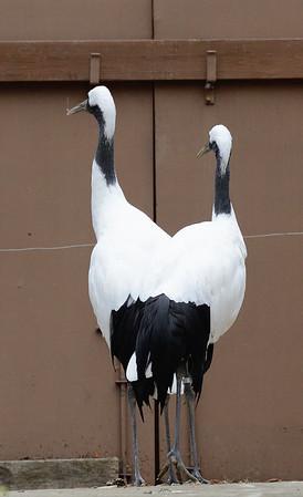 Rare 2 headed stork!