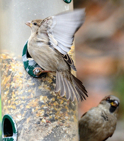 Sparrow at the feeder