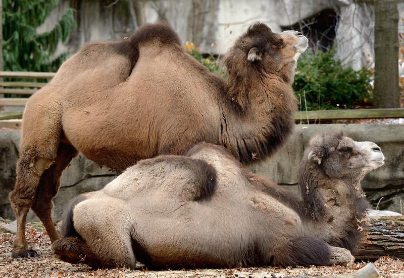 Camel profiles