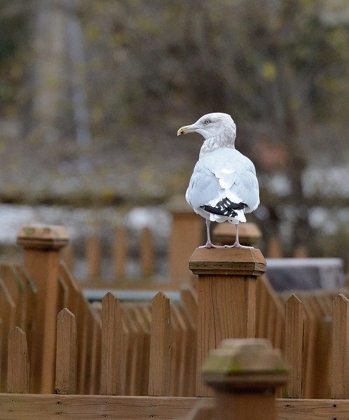 Gull at the Zoo