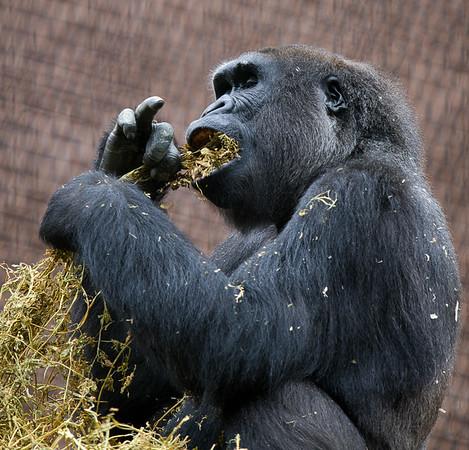 Gorilla eating lunch