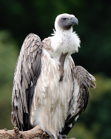 Vulture at the Cleveland Metroparks Zoo