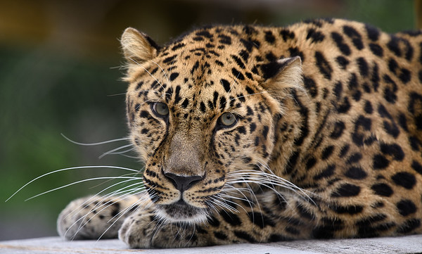 Edgar the Amur Leopard
