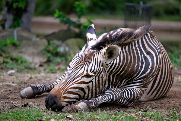 Zebra rolling in the dirt