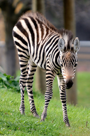 Cleveland Metroparks Zoo - Young Zebra